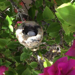 2 baby Hummingbird eggs Photo Louise Lowry