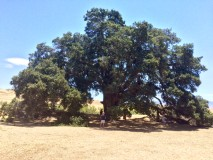 Ancient 1100 year old tree