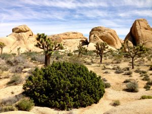 Joshua Tree by day.